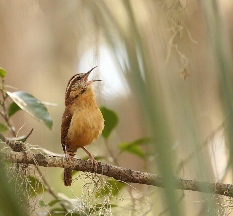 En syngende fugl